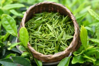 Camellia sinensis tea